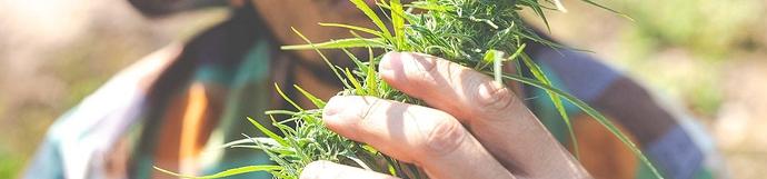 gnojivo za uzgoj kanabisa