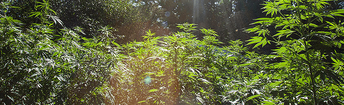 uzgoj marihuane na otvorenom