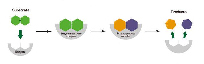 enzym-1030x328