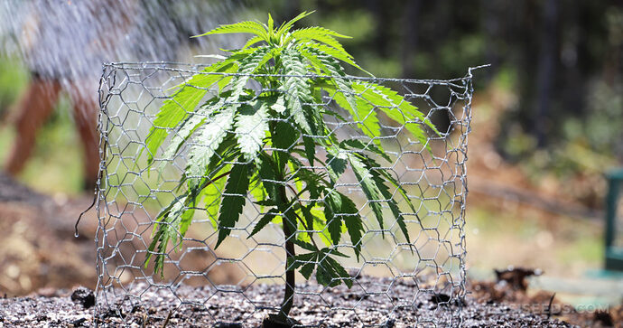 top-9-tips-growing-cannabis-outdoors-1-1024x540