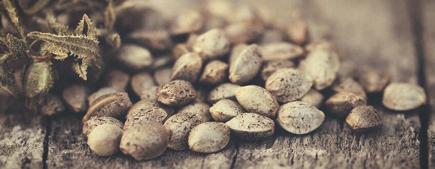 Kanabis sjemenke