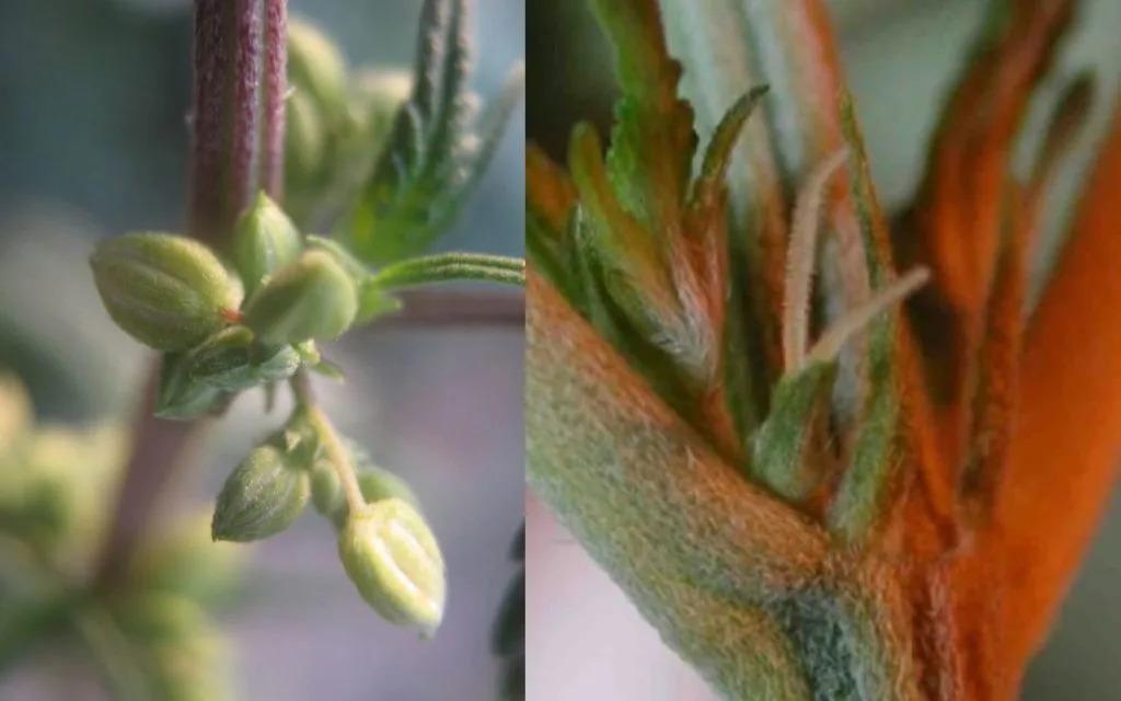 muska-i-zenska-biljka-marihuane