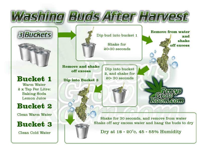 how-to-wash-buds-after-harvest