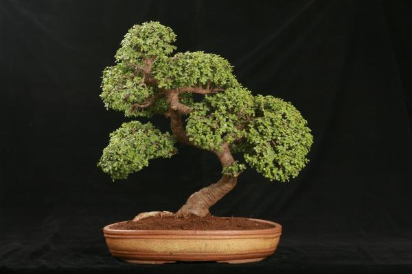 bonsai-drvo