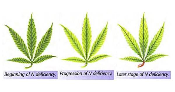 nitrogen-deficiency-leafs-1