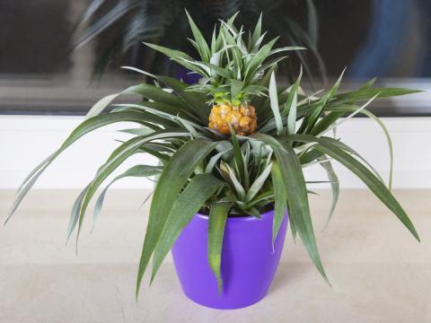 ananas-topf-iStock_000085820813_Medium